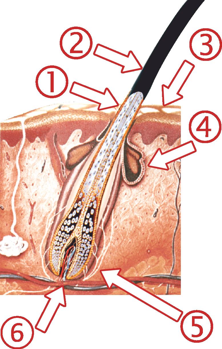 Prevenitivni pregled pilosebacealnih jedinica vlasišta
